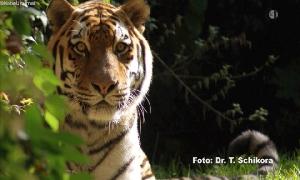 Tiger Jantar