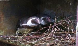 Im Pinguinland haben sich Pärchen zusammengefunden