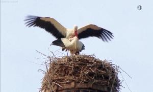 Storchen-Pärchen nistet in Rußdorf