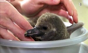 Pinguin-Nachwuchs im Amerika-Tierpark